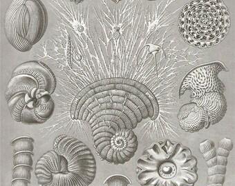 Original Vintage Ernst Haeckel Protozoa Ocean 1960s bookplate print chart wall print antique b/w illustration lithograph ocean sea 12