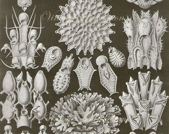 Original Vintage Ernst Haeckel Marine Animals Ocean 1960s bookplate print chart wall print antique b/w illustration lithograph ocean sea 33