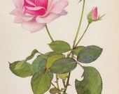 Botanical Print Rose Print Pink Gallery Wall Art Cottage Decor Rose Art Print Vintage Rose Illustration Flower Print  Plaindealing 2019