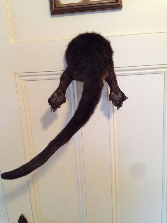 River Otter Butt Mount Taxidermy Mounted Rump Preserved