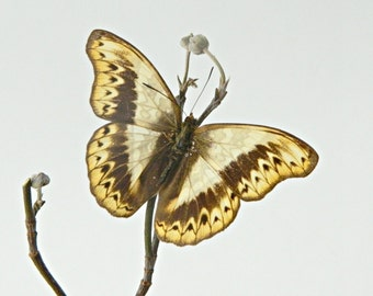 Butterfly, Real Dried Butterfly Specimen, Décor or Terrarium Accent, Photography Prop, Butterfly Photography, Herminia