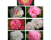 Garden Photo Note Cards Nature Photography Red Pink White Peonies Cottage Chic Floral Photography Romance Blank Greeting Cards Gift for Her