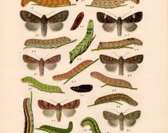 1920 Noctuid Moth, Antique Print, Insect Lithograph, Mamestra, Dianthoecia, Bryophila, Diloba, Valeria, Noctuidae, Lepidoptera, Entomology
