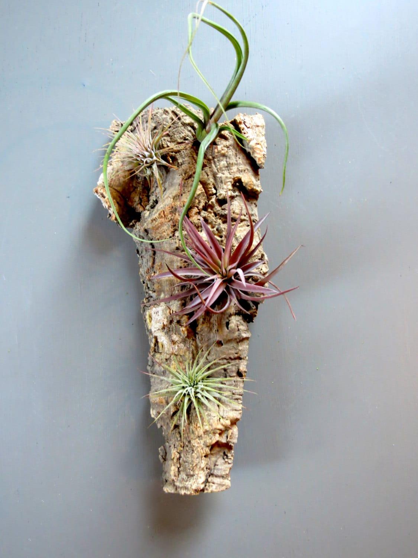 vertical garden with 4 exotic air plants on cork bark fast. Black Bedroom Furniture Sets. Home Design Ideas