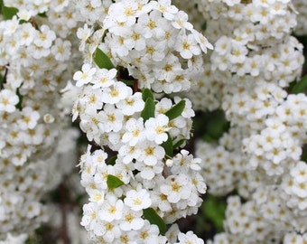 Flower Seeds - YARROW