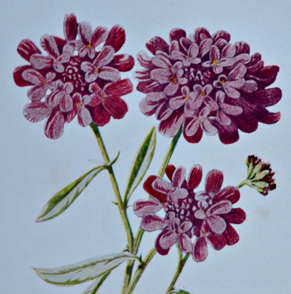 Candytuft. Old color print. 107 years old illustration. Antique lithograph. 1907. Botany print. 7'4 x 5'1 inches or 19 x 13 cm.