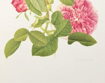 Charles Raymond, Vintage 1950s Botanical Rose Print on High Quality Art Paper, Rosa Gallica du Maitre d'Ecole