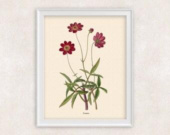 Red Cosmos BOTANICAL PRINT - 8x10 PRINT - Flower Art - Home and Garden - Home Decor - Art Prints Vintage - Item #112