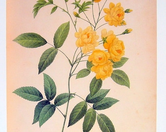Redoute Flower Print - Rosa banksiae - 1979 Vintage Flowers Book Plate p200