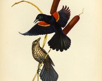 Red Winged Blackbird Print Menaboni Book Plate SALE Buy 3, get 1 Free or Buy 5, get 2 FREE