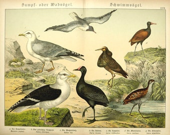 1886 Antique BIRD print, fine chromolithograph of sea birds and water birds  126 years old gorgeous large size