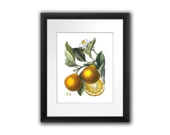 Antique Botanical Print Orange Citrus Fruit No.5  Wall Art Decor Wall Hanging Housewarming Kitchen Dining room decor 8x10 Art Print