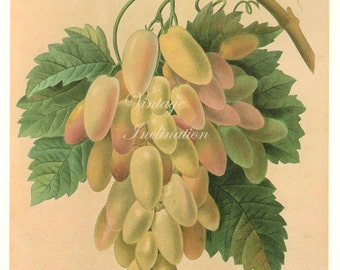 Large Grapes Fruit & Leaves Redoute Botanical Lithograph Illustration vintage food chart fruits kitchen decor
