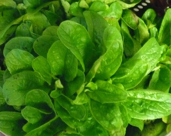Corn Salad (Mache, Lamb's Lettuce) Seeds- Heirloom- 300+