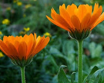 Calendula Seeds, Calendula Officinalis, Pot Marigold,  Medicinal Herb, Annual Flower, Flower Essence Plant