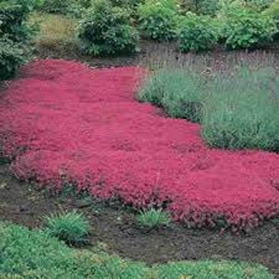 Creeping Thyme Seeds Thymus Serpyllum Magic Carpet