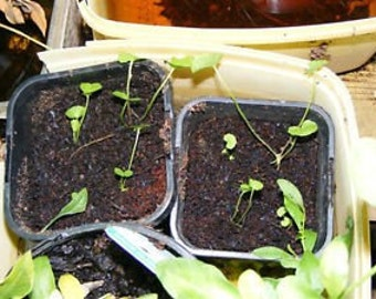 GOTU KOLA SEEDS (100 seeds) (Centella asiatica)