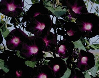 Grow your own Flowers 15 Black Morning Glory Seeds Pase Seeds