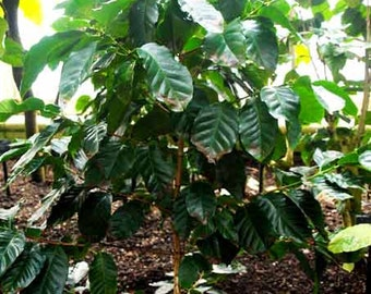 Coffea Arabica - 10 Seeds - Coffee Bean Plant