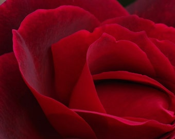 "Crimson Rose - 8""x12"" Photo Print"