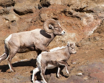 Wildlife Photography: Rocky Mountain Big Horn Ram & Young Big Horn sheep. Nature Photography and Wildlife Photography by Cat Pentescu