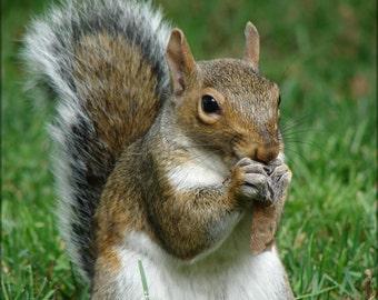 24x36 Poster; Gray Squirrel (Sciurus Carolinensis) With Maple Tree Seed