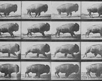 24x36 Poster; Buffalo (American Bison) Galloping.  Eadweard Muybridge1887
