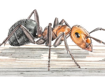 Print of Western Thatching Ant drawing