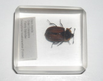 Carrion beetle specimen in lucite, Coleoptera: Silphidae (Oiceoptoma noveboracense)
