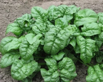 Organic  Heirloom Giant Nobel Spinach vegetable seed Fresh 2016 seeds Slow to bolt, Huge Plant Very Productive Excellent Flavor