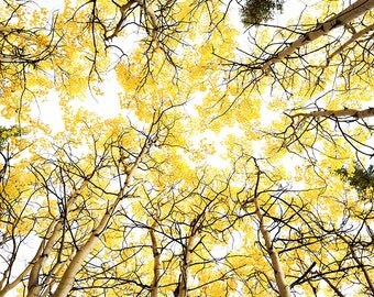 Birch Tree Art, Fall Tree Photography, Nature Photography, Nature Wall Decor, Fine Art Photography, Yellow Leaves, Embrace