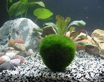1 Giant Living Marimo Moss Balls (~2 Inches)! Live Cladophora Aquarium Aquatic Plant for Terrarium or Fish Tank or, 8-15 years old