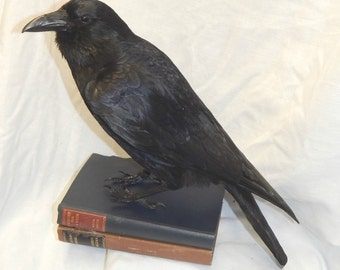 Taxidermy crow, bird only - Best seller! each copy near on the  same every-time! limited time at this price
