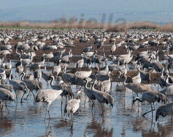 FIGURE 178 CRANES color photography Cranes Birds Photography  Nature Photography unique gift home decor