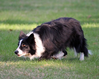 "Shop ""border collie"" in Photography"