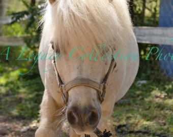 White Mini - high resolution HORSE PHOTOGRAPH transferred to fine art Hahnemuhle paper