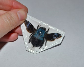 Blue Carpenter Bees, Xylocopa caerulea from Java  Real Dried Insects