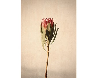 Protea Print, Flower Photography, Botanical Print,  Floral Art Print, French Country Decor, Minimalist Art