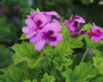 Geranium Hydrosol Distilled from Fresh Plant Material