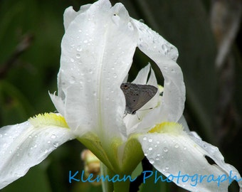Butterfly on White Iris Greeting Card