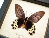 Real Framed Atrophaneura Priapus Verso Butterfly Shadowbox Display 655V