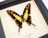 Valentine's Day Gift Real Framed Eurytides Thyastes Swallowtail Butterfly 707