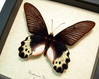 Real Framed Atrophaneura Priapus Butterfly  655