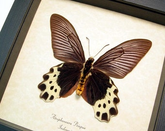 Real Framed Atrophaneura Priapus Verso Butterfly Shadowbox Display 655V