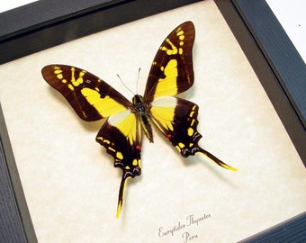 Real Framed Eurytides Thyastes Swallowtail Butterfly 707