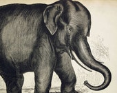 1840s-1850s Antique Engraving of the Elephant