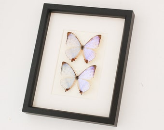 Insect Collection Pearl Morpho Butterfly Framed