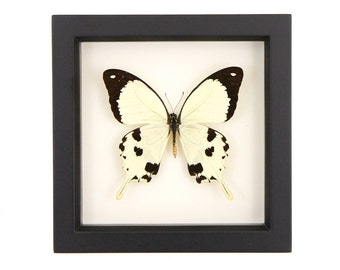 Framed Butterfly Mocker Swallowtail Yellow Insect Shadowbox