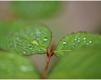 Rose Green Leaf Plant Fine Art Canvas wrap -Washington -Pacific Northwest -Macro -Dew -Raindrops