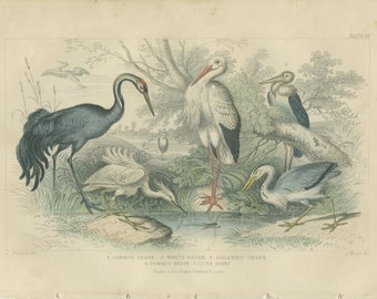 Antique, Rare, 1868 Goldsmith, White Stork, Gigantic Crane, Common Heron, Little Egret, Hand Colored (61) Engraving